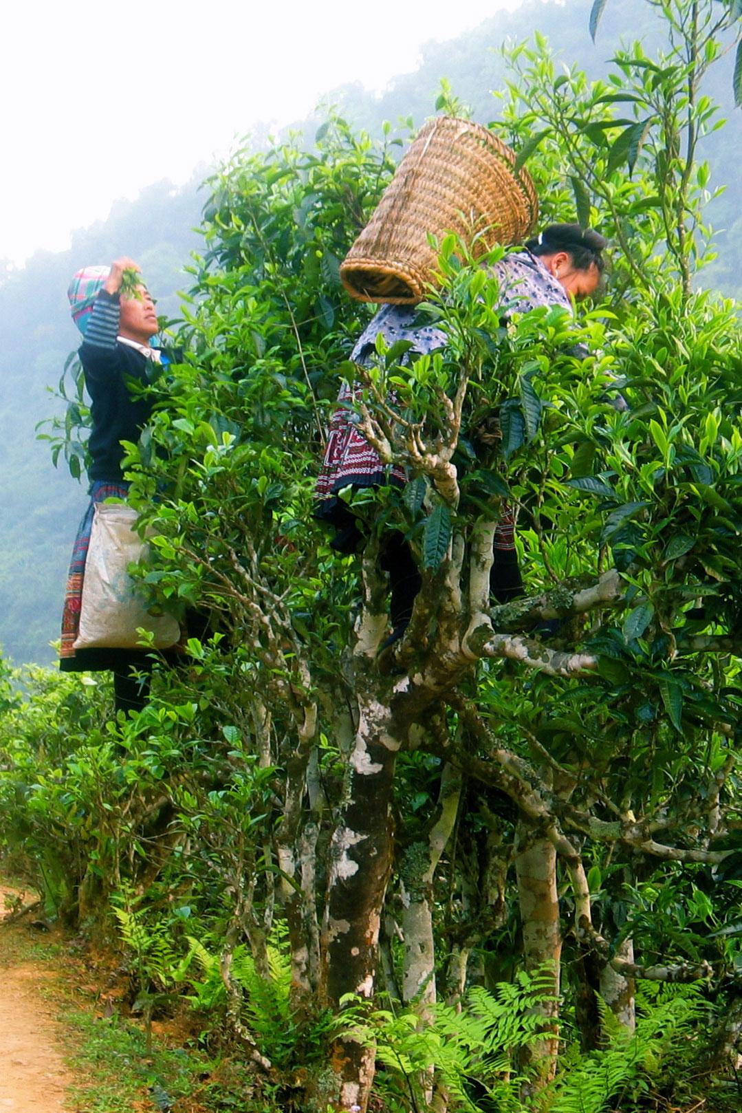 Zwei Frauen ernten Tee in Vietnam und klettern dafür mit Bastkörben auf dem Rücken die Teebäume hoch.