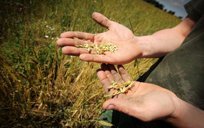 Landwirt hält frisches Korn vom Feld in den Händen.