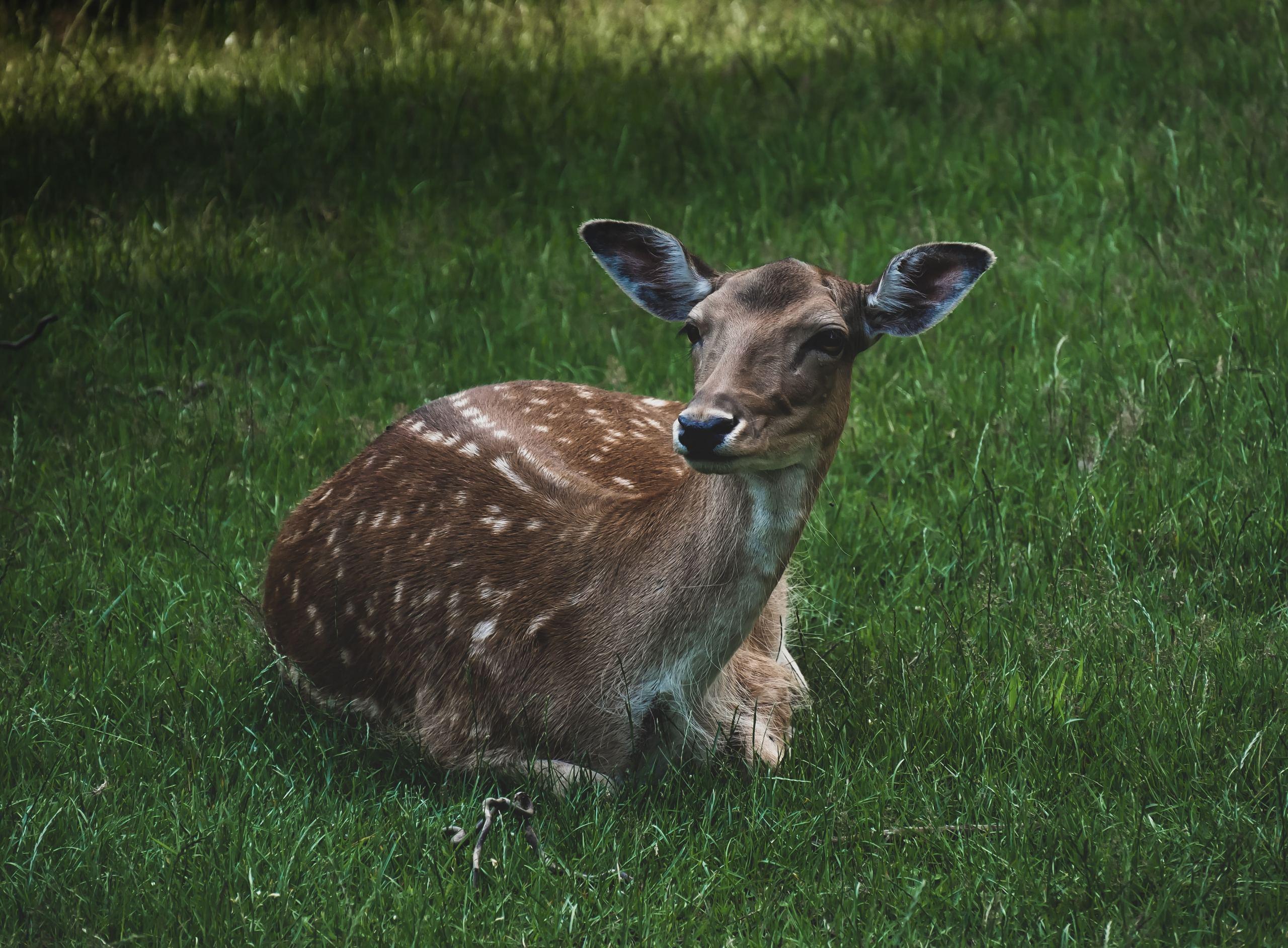 Reh liegt im Gras