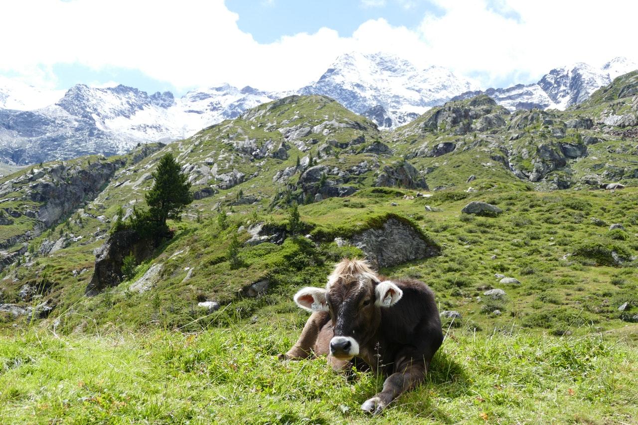 Braune Kuh liegt auf einer grünen Bergwiese in Österreich