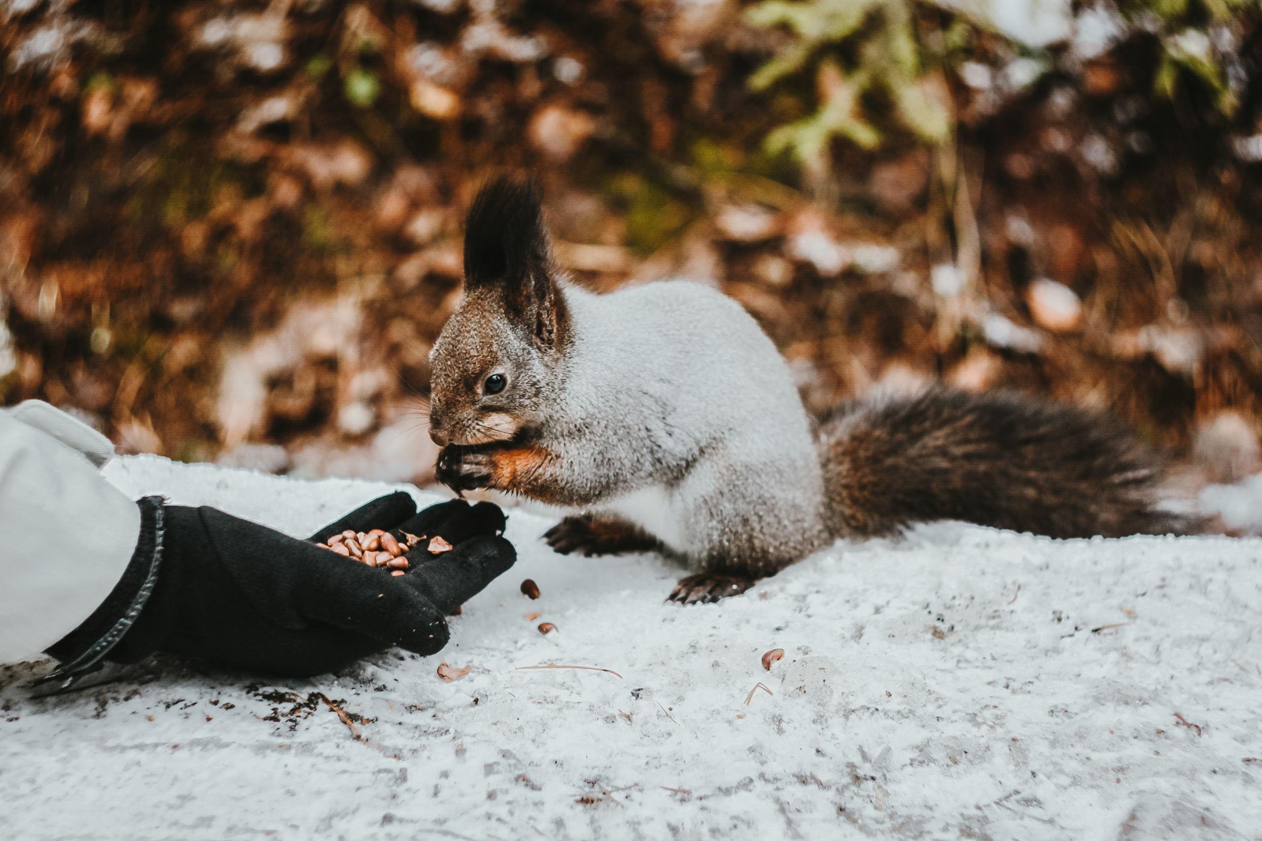 ein-eichhörnchen-frisst-körner-von-einer-hand