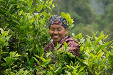 In Vietnam wird der Tee nicht auf Plantagen sondern von urlaten hohen Bäumen geerntet.