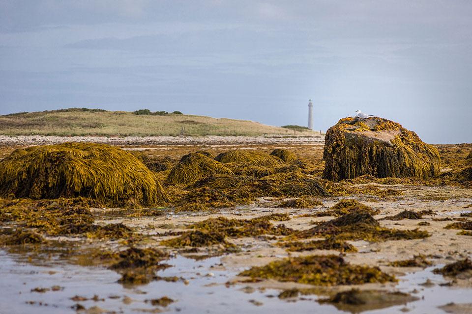 Der Blick über die Landschaft zeigt im Vordergrund durch Ebbe freigelegte Algen, auf denen eine Möwe Rast macht, und im Hintergrund grüne Hügel sowie einen Leuchtturm.