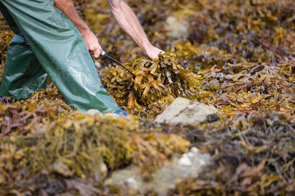 Ein Helfer steht während der Ernte bekleidet mit einer grüßen Fischerhose, in einem Haufen Algen und schneidet mit einer Sichel einzelne Algenstränge.