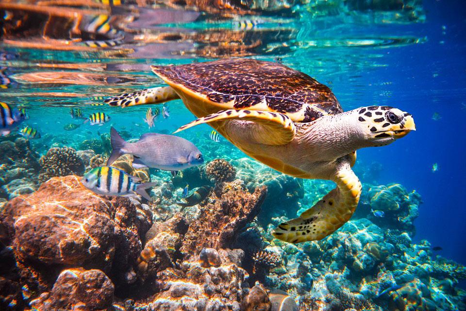 Die Unterwasseraufnahme zeigt eine Wasserschildkröte und weitere kleine Fische an einem Korallenriff, auf dem sich das Sonnenlicht durch die Wasseroberfläche bricht.