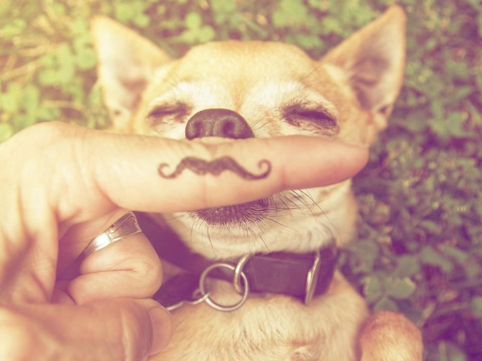 Während der kleine Chihuahua die Sonne im Sommer genießt, erlauben sich die Tierhalter einen Scherz, indem sie dem Hund einen Zeigefinger mit aufgemaltem Moustache vor die Schnauze halten.
