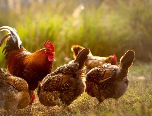 Artgerechte Hühnerhaltung – Wo Sie Eier von glücklichen Hühnern bekommen