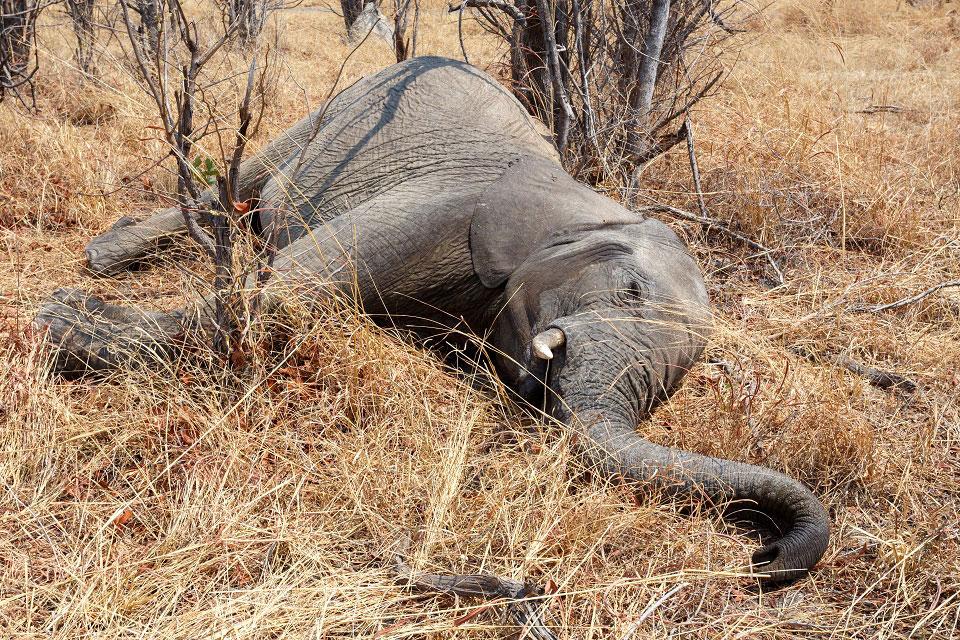 Toter Elefant