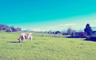Eine weiß-brau gescheckte Kuh grast auf einer großen grünen Wiese vor einer idyllischen Berglandschaft.