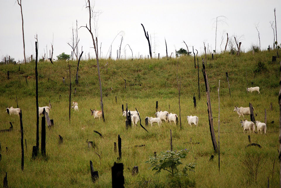 Einige weiße Rinder stehen auf einer saftig grünen Wiese, auf der noch tote, verkohlte Baumstämme zu sehen sind, die bei einer Brandrodung entstanden.