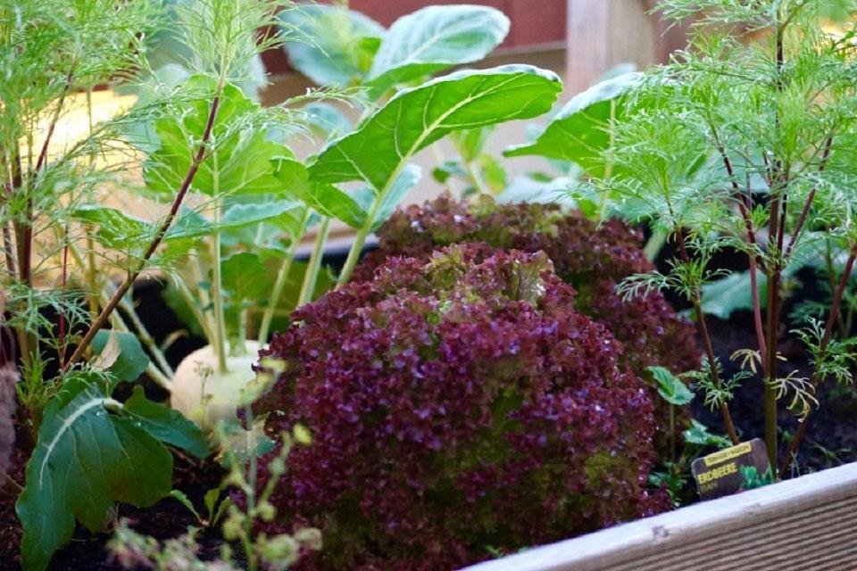 Verschiedene Salatsorten, zum Beispiel der rot-grüne und krause Lollo Rosso, Gewürze wie Dill und Gemüsearten wie Kohlrabi können in einem Hochbeet auf dem Balkon wachsen.