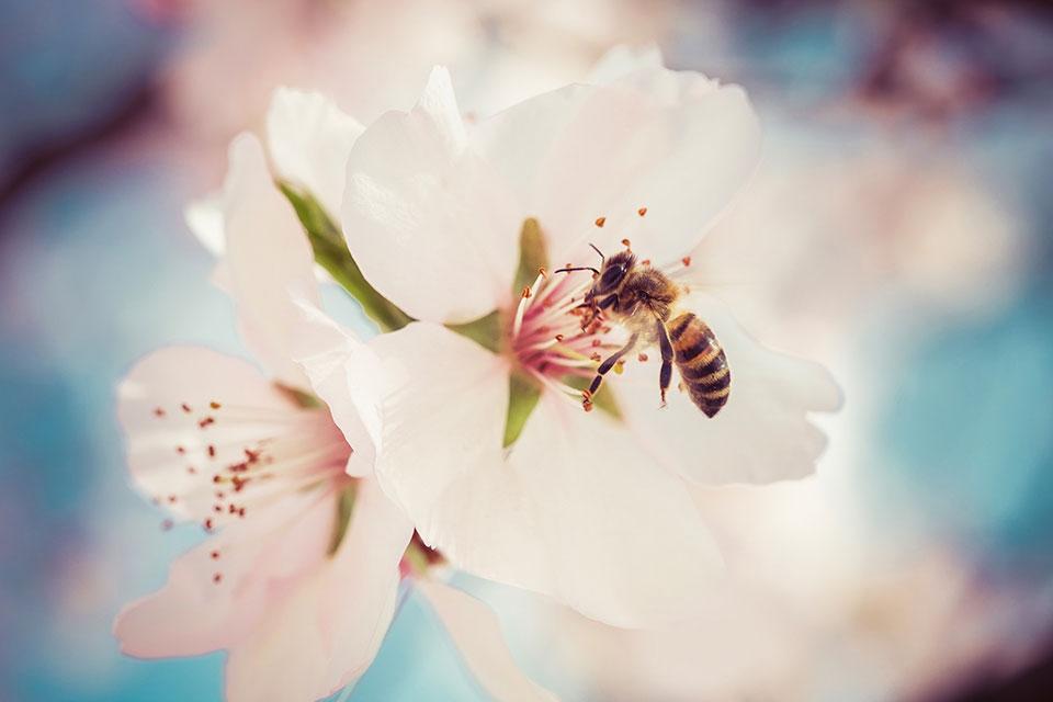 Eine Biene landet gerade auf einer Apfelblüte mit zart rosafarbenen Blütenblättern, um an den süßen Nektar heranzukommen und gleichzeitig die Blüten zu bestäuben.