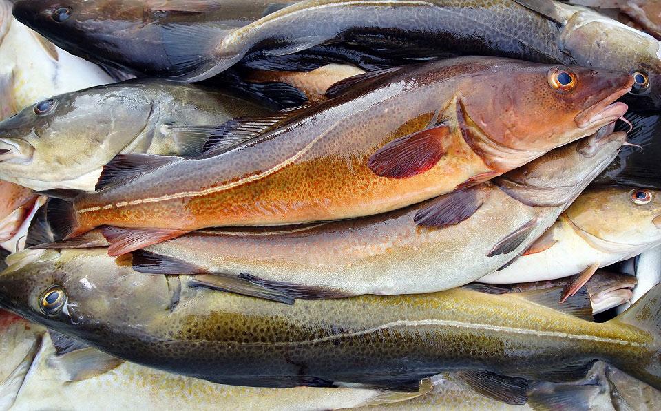 Frisch gefangene Fische der Art Kabeljau liegen übereinander und warten auf die Weiterverarbeitung. Ihre Haut und die Augen glänzen und zeigen dadurch die Frische des Fangs.