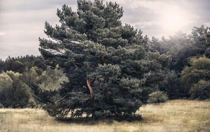 Auf einer Waldlichtung ist ein rundlich gewachsener Kiefernbaum in der sommerlichen Nachmittagssonnen zu sehen, die den Baum in ein verwunschenes Licht rückt.