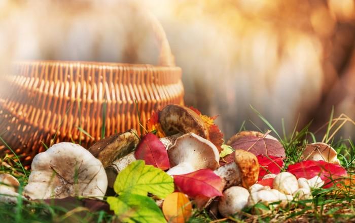 Eine ertragreiche Beute an verschiedenen Pilzen wie Steinpilze, Kräuterseitlinge, Pfifferlinge und andere Waldpilze liegen neben Herbstlaub auf dem Waldboden vor einem Bastkorb. © Galyna Andrushko / Shutterstock
