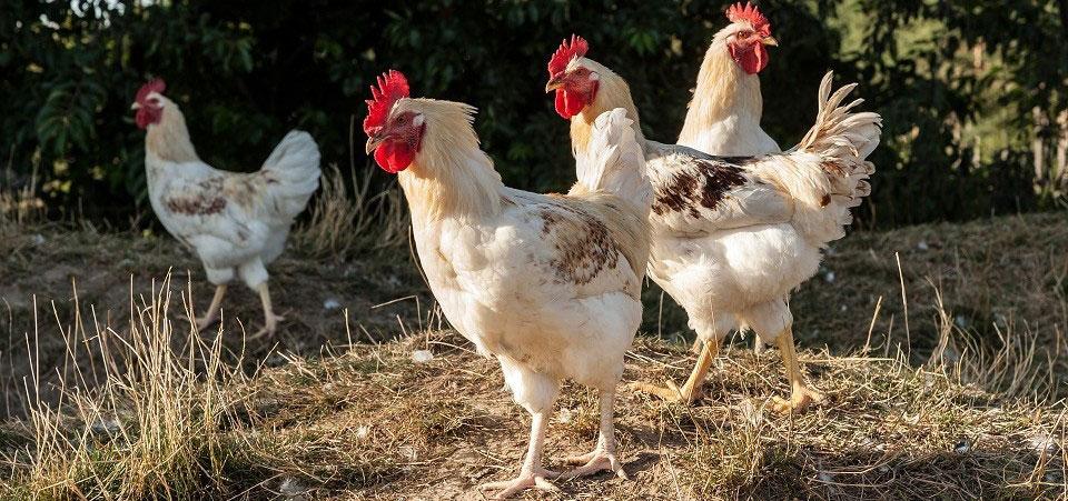 artgerechte Hühnerhaltung