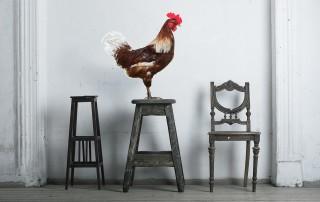 In einem Raum sitzt ein prachtvoller Hahn aur einem hohen Holzschemel.