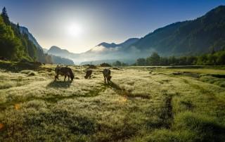 Auf einer grünen Wiese in der deutschen Alpenregion grasen drei Kühe, während man im Hintergrund die Umrisse verschiedener Berge zu erkennen sind.