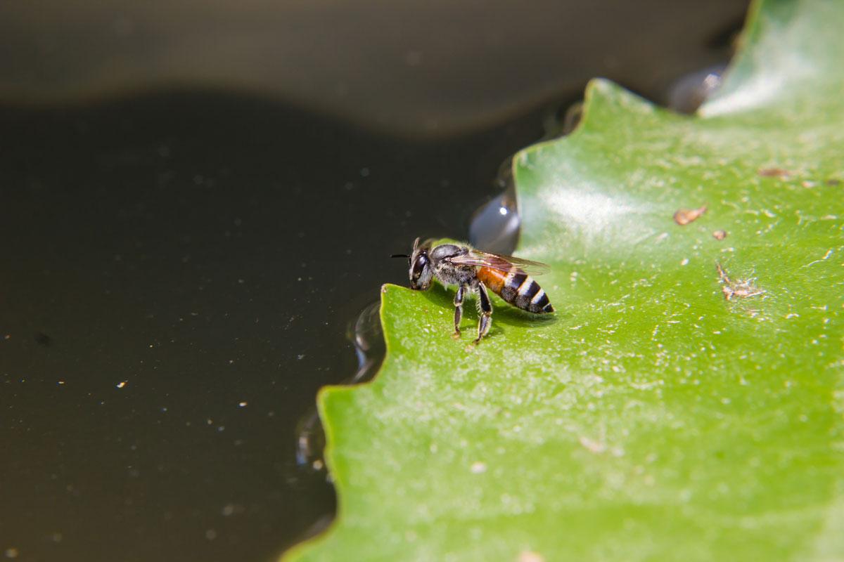 Eine Biene hat sich auf einem großen,. Grünen Seerosenblatt niedergelassen, um aus dem dunklen Gartenteich zu trinken.