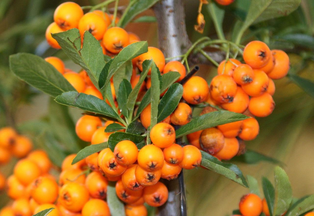 Orangefarbene Sanddorn-Beeren am Strauch