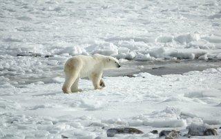 Der Eisbär könnte aufgrund des Klimawandels schon bald ausgestorben sein