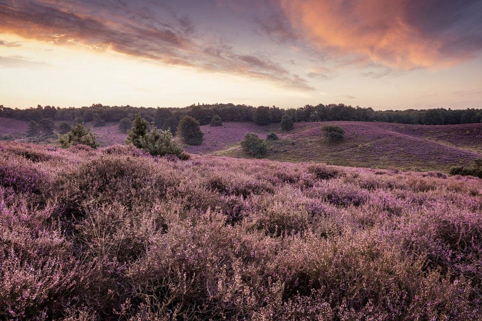 In der schottischen, roten Abenddämmerung wiegt sich das violette Heidekraut, auch Heather genannt, aus dem die Bachblüte Nummer 14 gegen Minderwertigkeitsgefühle gewonnen wird.