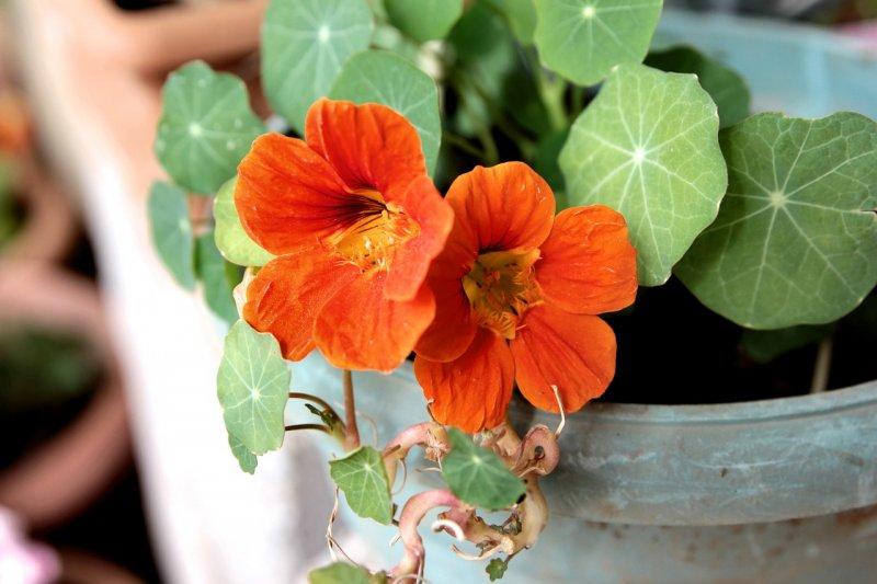 Orangefarben blühende Kapuzinerkresse in einem Blumentopf