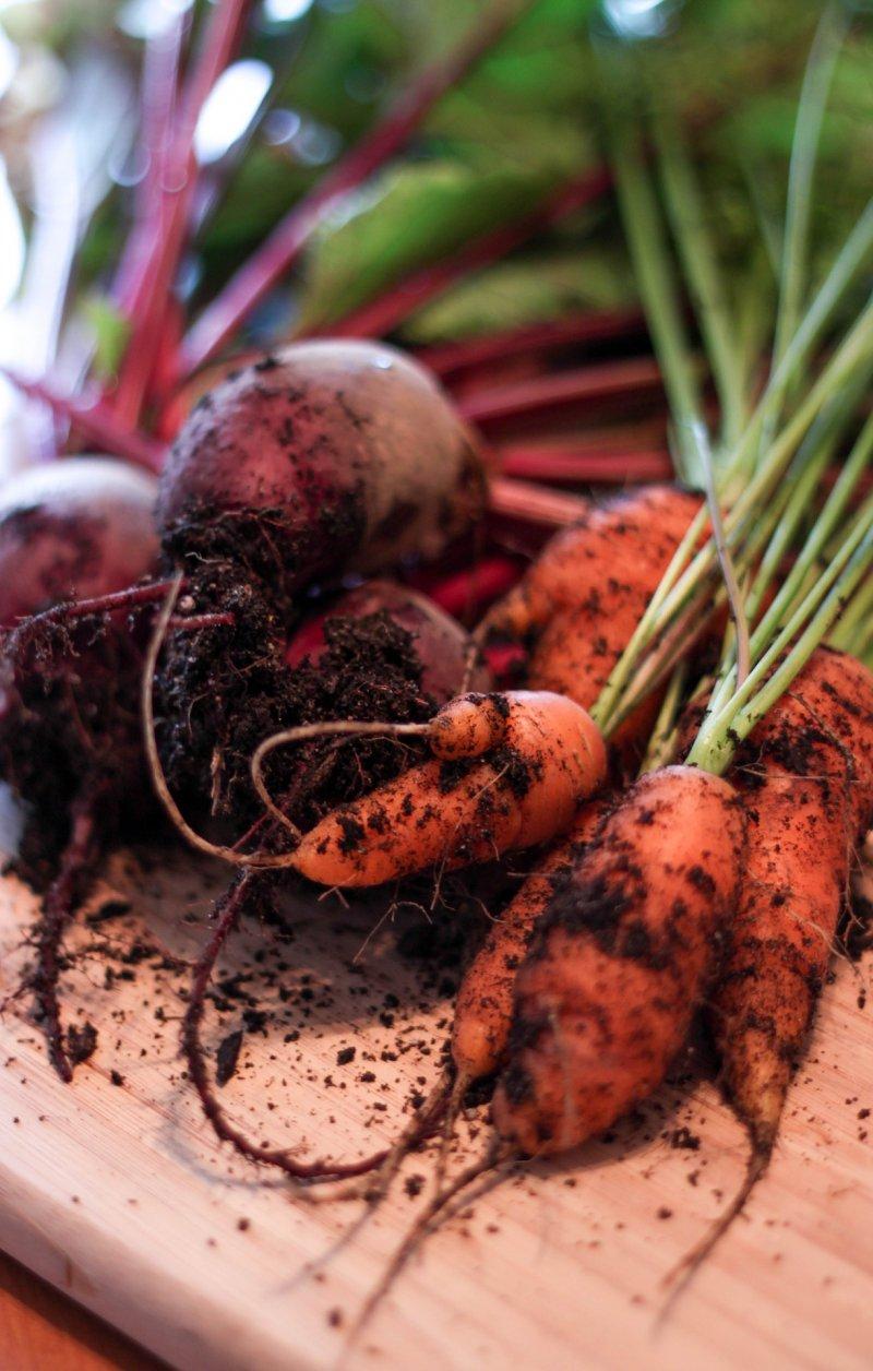 Kleine Karotten, frisch geerntet mit Erde
