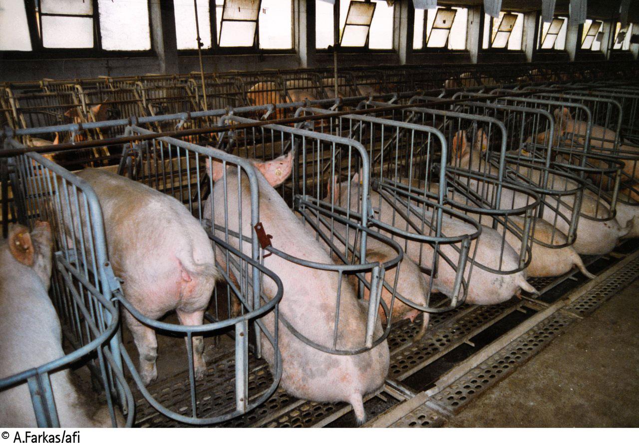 Schweine in beengter Kastenhaltung