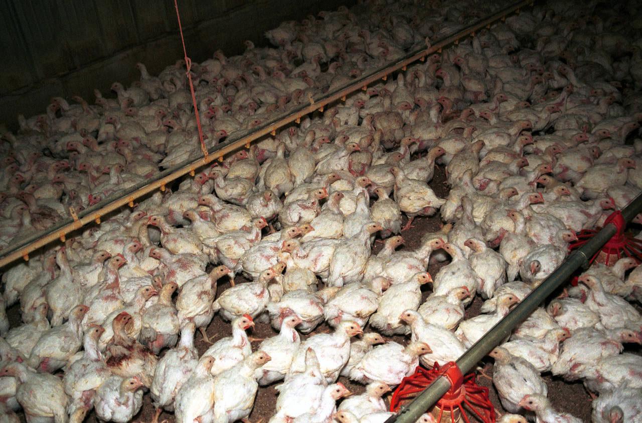 Hühner in Bodenhaltung