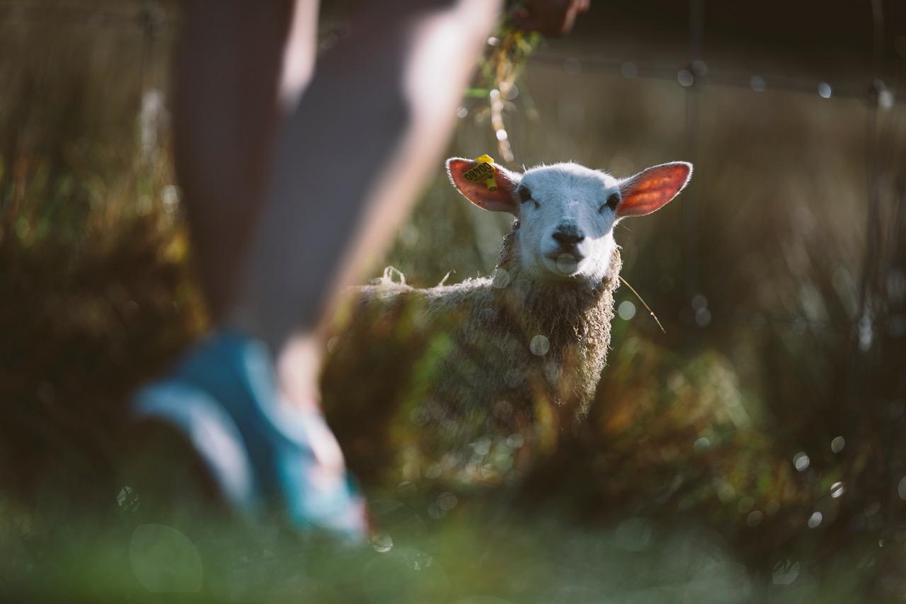 Nachhaltige Schuhe - Ein Wanderer begegnet einem Schaf in der Natur.