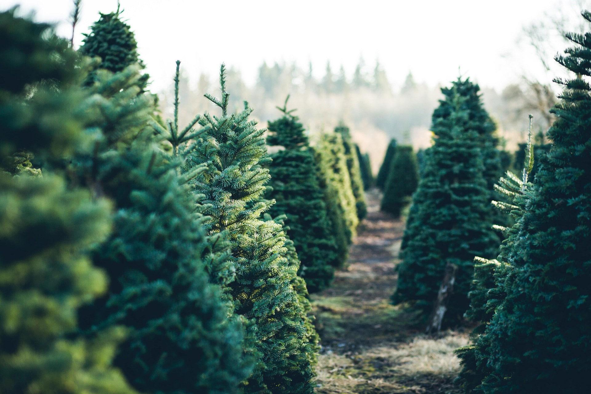 Öko Weihnachstbaum für nachhaltige Weihnachten