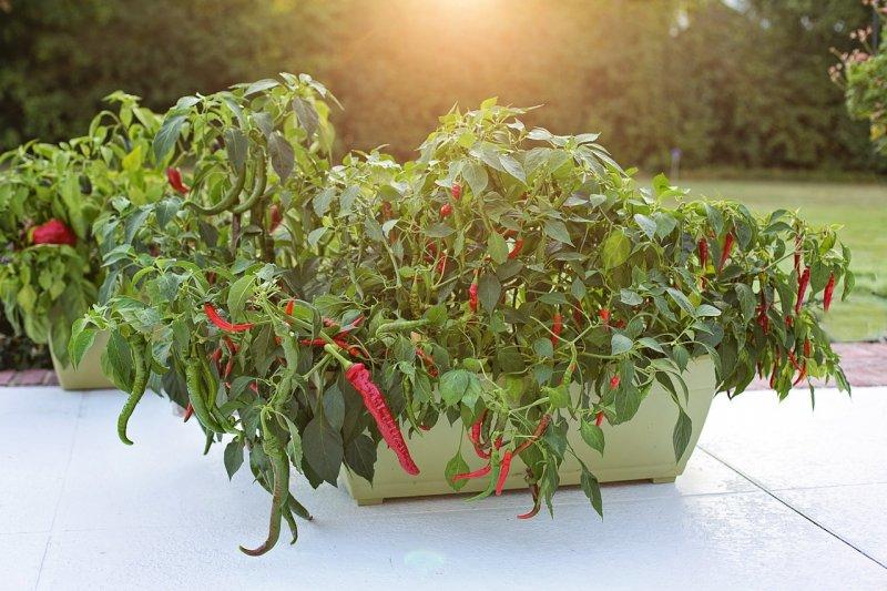 Peperoni in einem Pflanzkasten