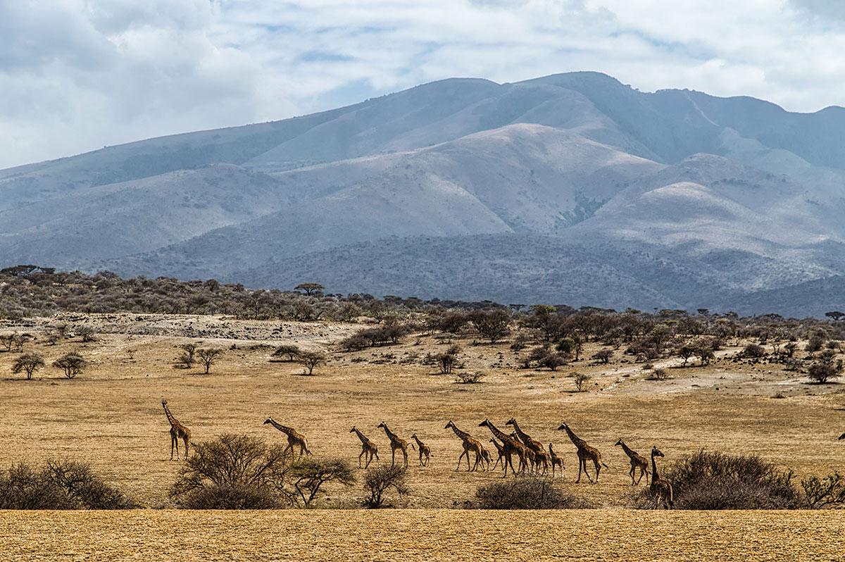 Giraffen in freier Wildbahn