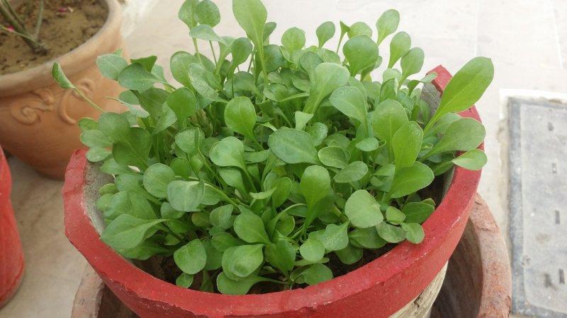 Spinat wächst in einem Topf auf dem Balkon